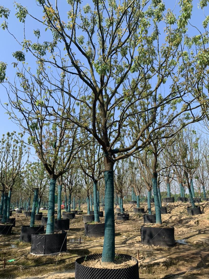 [香樟批发] 苗圃直供移栽容器香樟,量大从优价格2400元/棵
