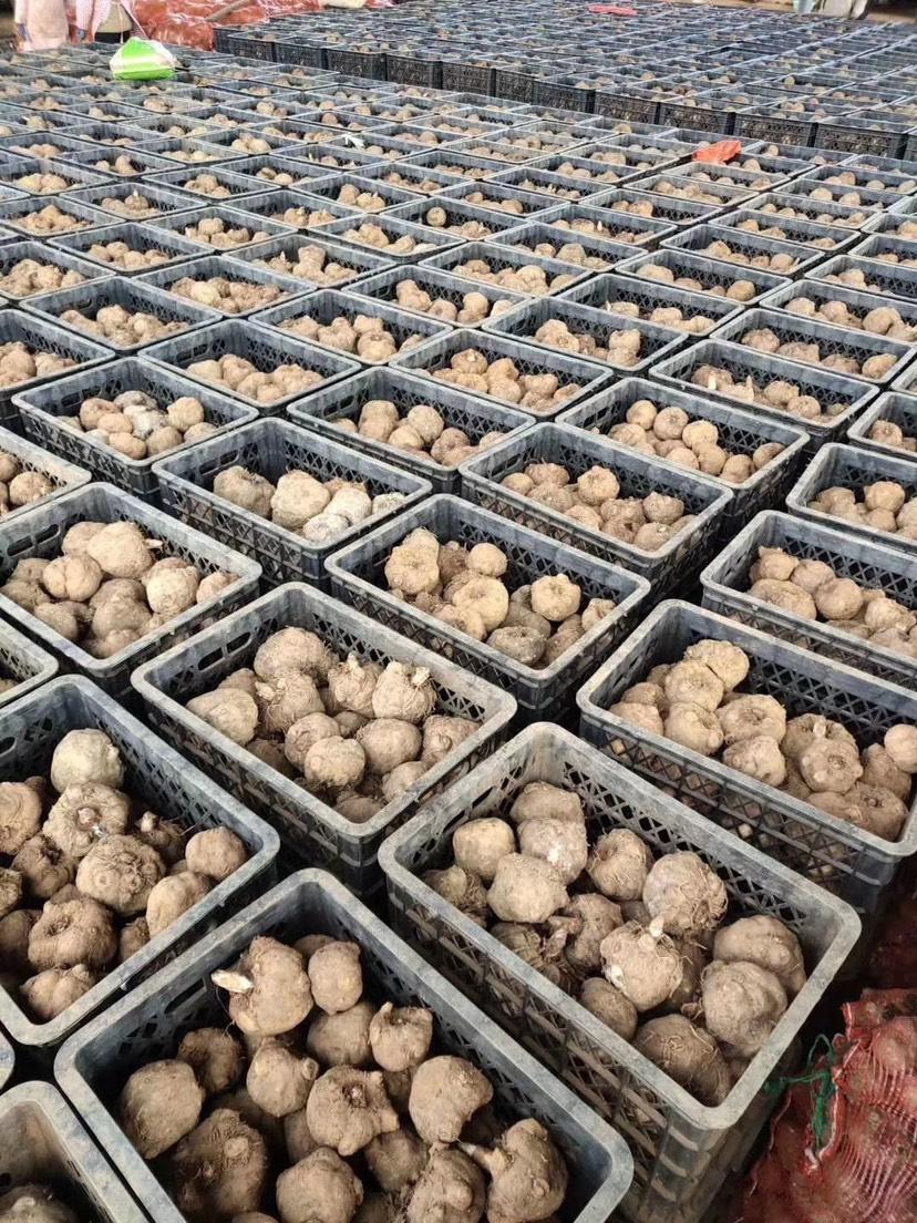 [花魔芋批发]优质花魔芋种子脱水消毒杀菌处理成活率达到百分之九十以上价格6元/斤