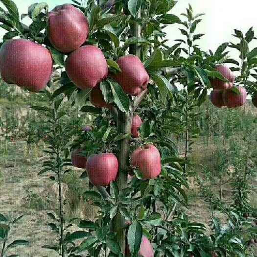 甘肅省隴南市禮縣首紅蘋果