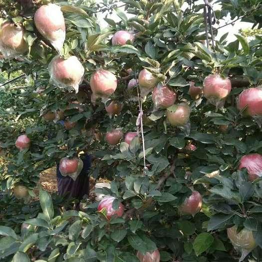 山東省濱州市沾化區紅香蕉蘋果