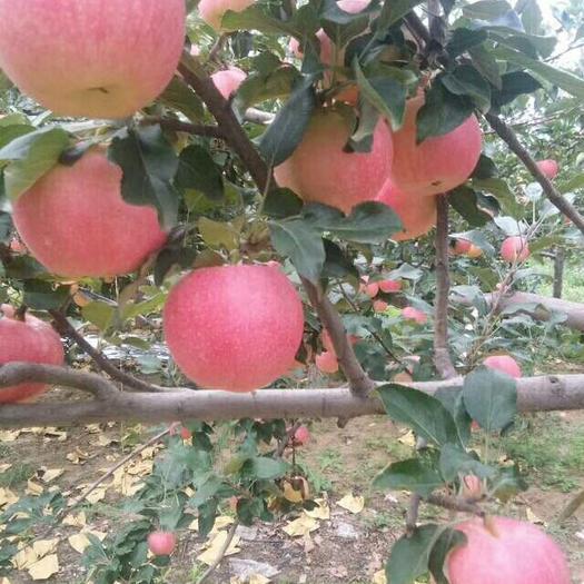 山東省日照市東港區富士王蘋果 膜袋 片紅 80mm以上