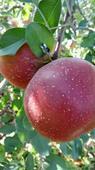 丑蘋果 光果 片紅 70mm以上