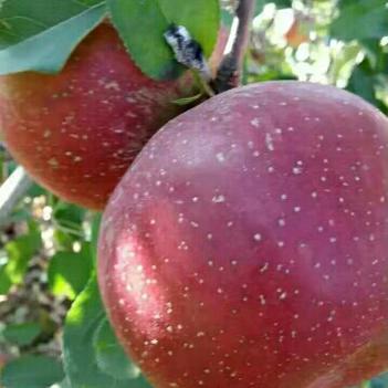 丑苹果 光果 片红 70mm以上
