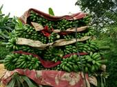小米蕉 七成熟