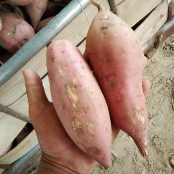豫薯10号 红皮 3两以上