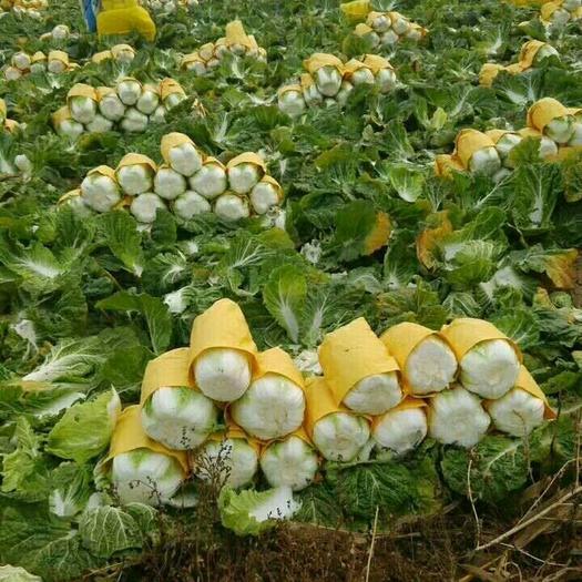 遼寧省錦州市凌海市早熟五號大白菜 6~10斤 凈菜