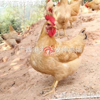 三黃雞苗 公