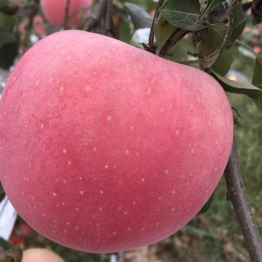 陜西省咸陽市乾縣涼香蘋果