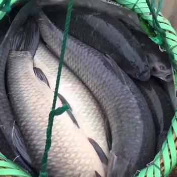 淡水青鱼 人工养殖