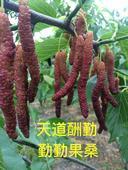 長果桑苗 包種植指導  易成活 好管理