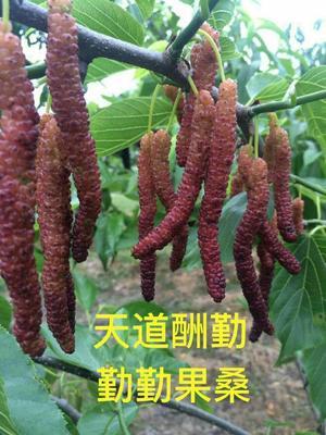 浙江省嘉兴市海宁市长果桑苗 包种植指导 易成活 青苗