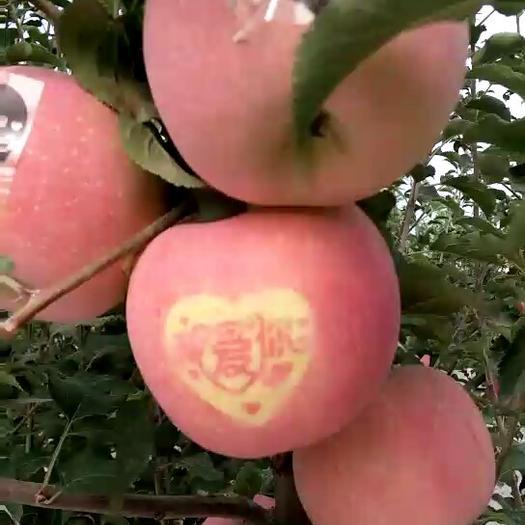 陜西省延安市延長縣首紅蘋果