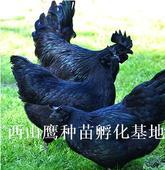 綠殼蛋雞苗 惠農優選綠殼蛋雞母苗-包打疫苗 運輸包活 技術提供