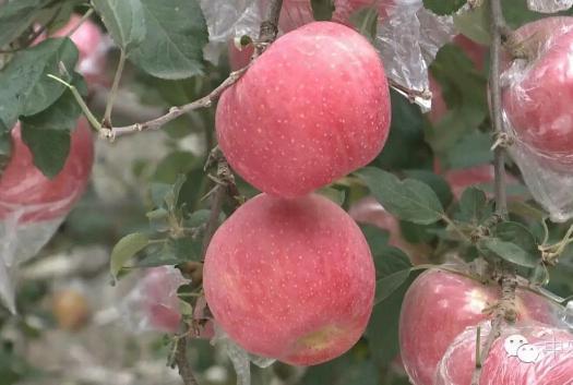 山西省臨汾市翼城縣涼香蘋果