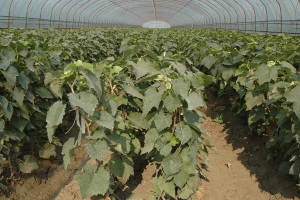 葡萄种子怎么挑选?育苗方法有哪些?