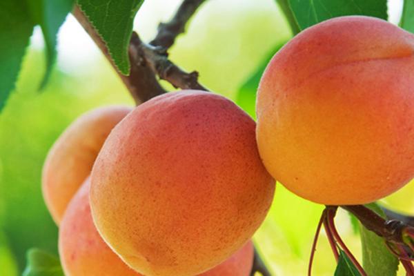 新疆小紅杏幾月份成熟上市?產地在新疆哪里?