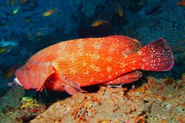 紅鰭笛鯛產地在哪?有哪些特點?