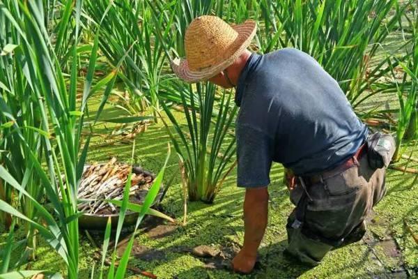 """农村这种野菜人称""""白莲参"""" 亩入1-2万 助农民脱贫致富!"""