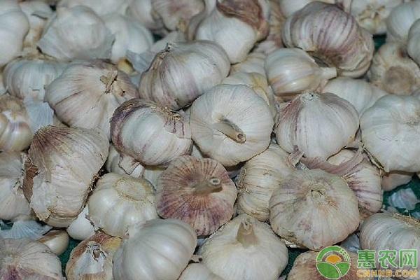 今日大蒜收购价多少钱一斤?7月12日各地大蒜主产区报价汇总
