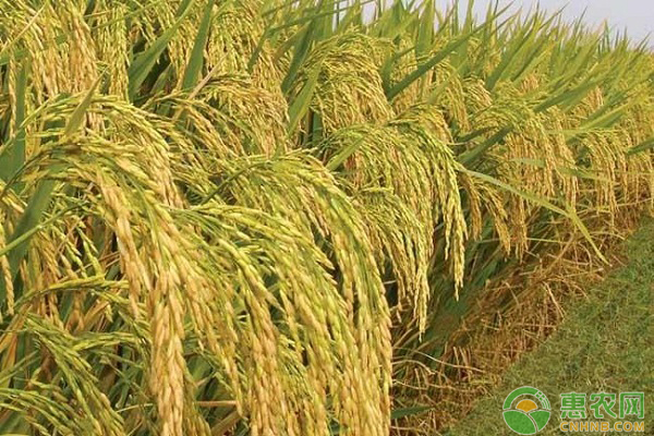 7月12日全国稻谷价格行情:早稻价格波动较大