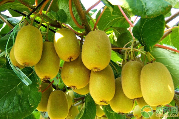 猕猴桃种植培训