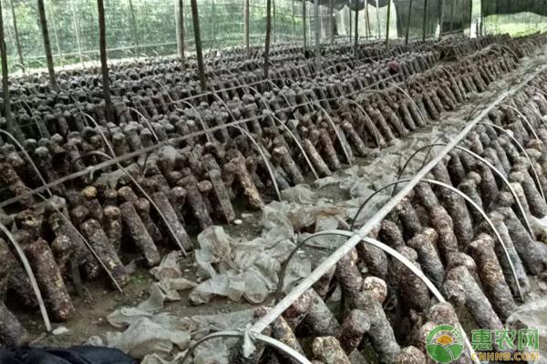 香菇种植致富