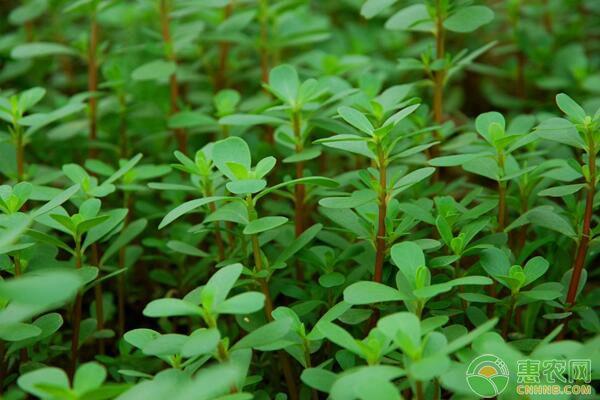 野菜种植前景如何?有哪些野菜品种适合人工栽培?