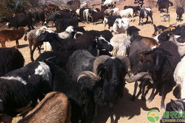 乌骨羊养殖