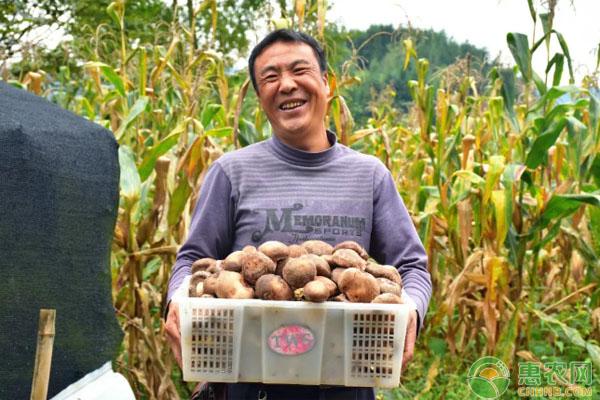 香菇种植致富案例