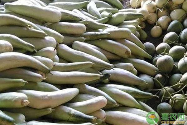 羊角蜜甜瓜种植致富