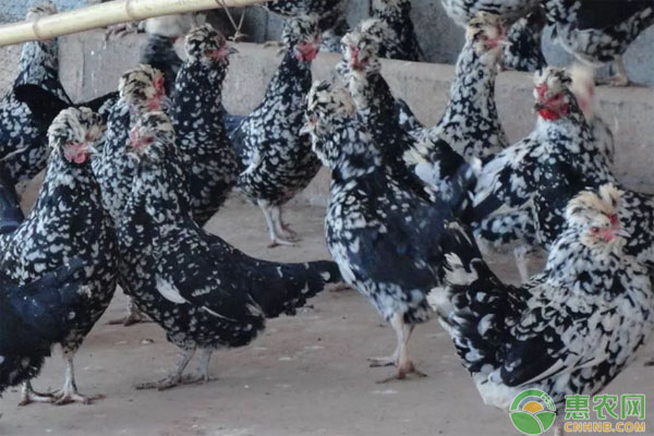 普通农民珍禽与家禽
