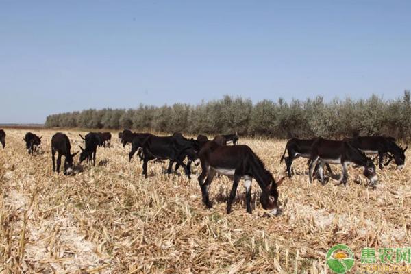 农村养驴致富