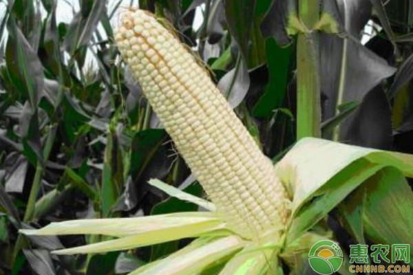 现在玉米粒多少钱一斤?2018年玉米产区最新收购价