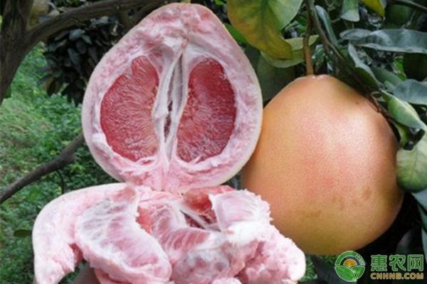 三红蜜柚种植前景