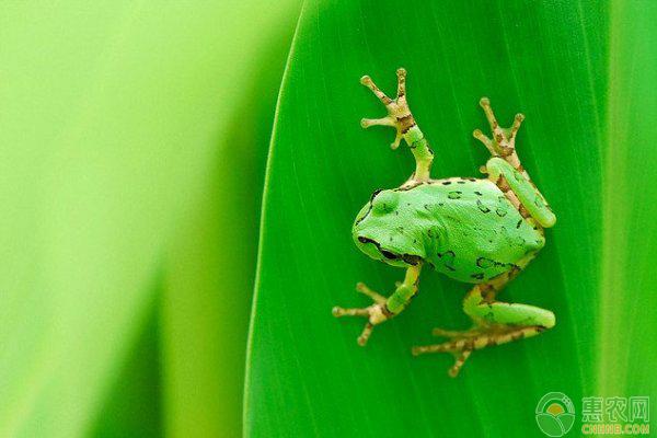 蛙稻田种养模式