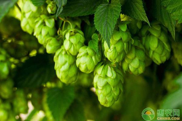 啤酒花种植前景