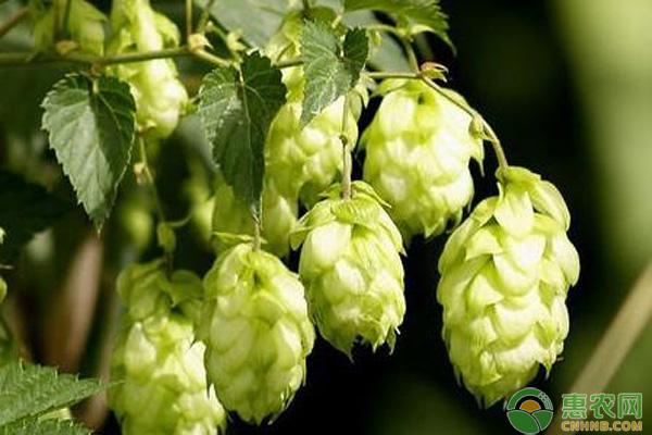 啤酒花种植技术
