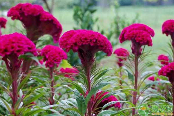 鸡冠花怎么种?种植前景如何?有哪些功能与作用?