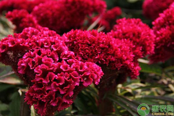 鸡冠花怎么种?种植前景如何?