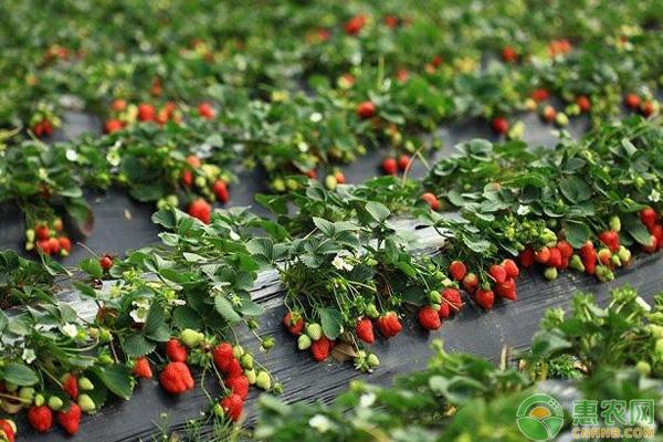 大棚草莓致富