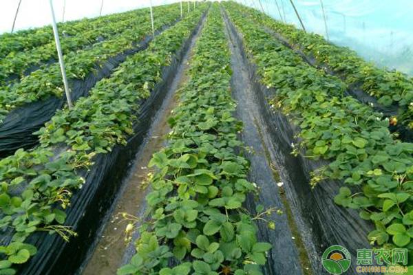 大棚草莓种植致富