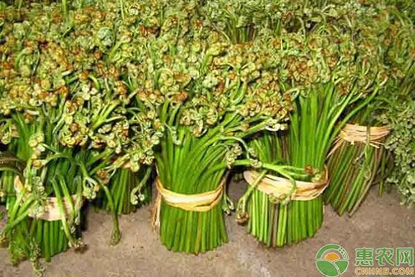 蕨菜市场前景