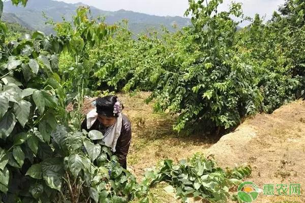 农民钩藤种植