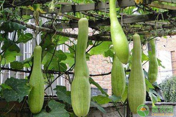南瓜有哪些品种?哪个品种最甜?南瓜品种大全介绍