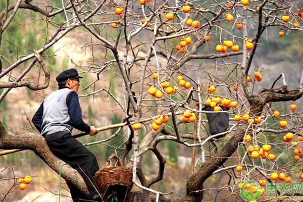农民摘柿子习俗