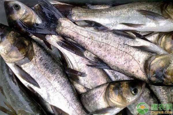 农村的餐桌上很少能看到鲢鱼原因分析