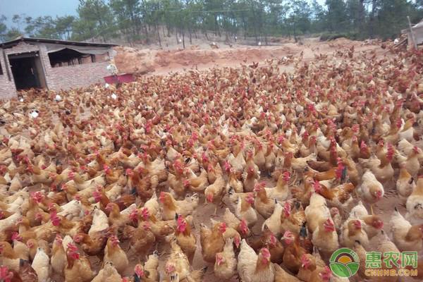 今日肉鸡收购价格