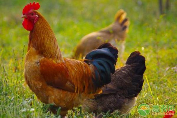今日肉鸡价格趋势