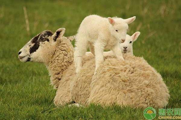 活羊最新报价