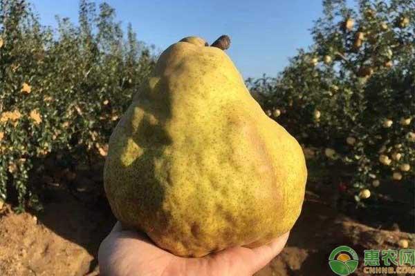 丑梨种植效益